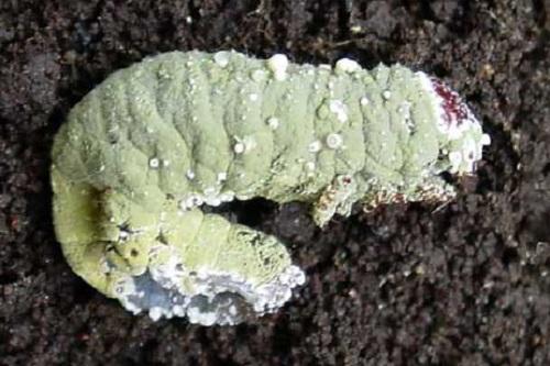 Chế phẩm nấm xanh nấm trắng ký sinh gây bệnh cho côn trùng