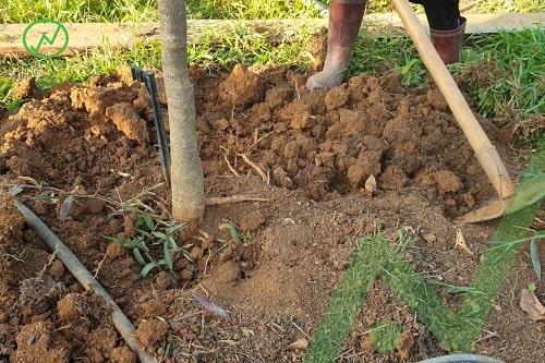 cây bị vàng lá thối rễ do trồng sâu nên cần phải hạ phần đất mặt