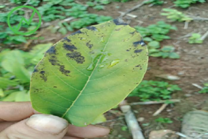 Triệu chứng của bệnh thán thư trên cây na