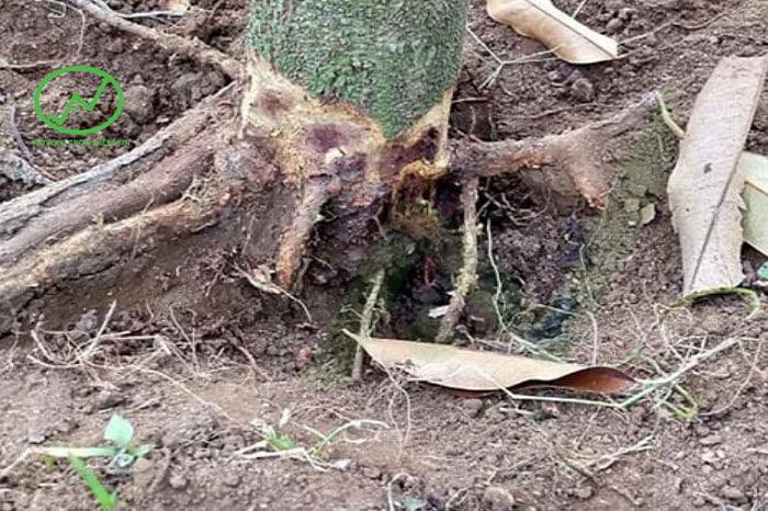 Triệu chứng của bệnh lở cổ rễ