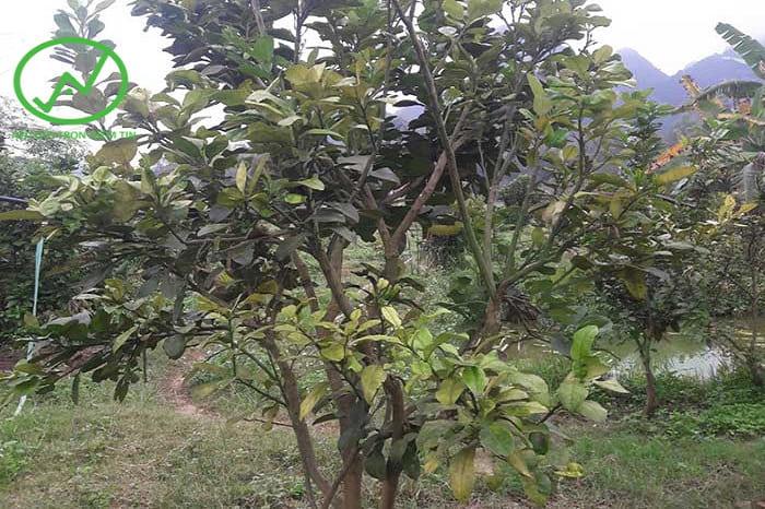 Triệu chứng của bệnh vàng lá thối rễ trên cây bưởi