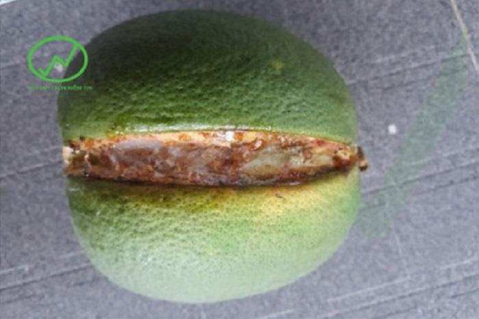 Triệu chứng của bệnh nứt trái trên cây bưởi