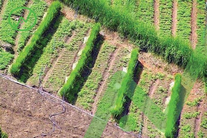 Các hàng cây chắn dày dọc theo đường đồng mức góp phần hạn chế xói mòn đất