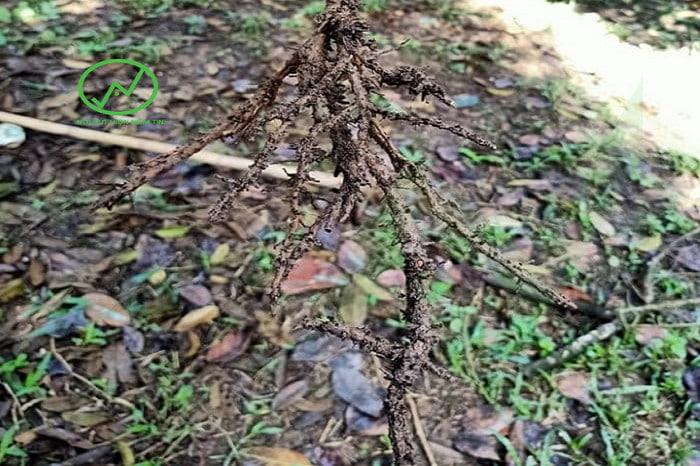 Biểu hiện bưởi da xanh bị thối rễ