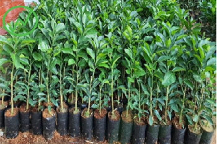 Cây giống cần khỏe mạnh, lá to xanh tốt, không có dấu hiệu của sâu bệnh.