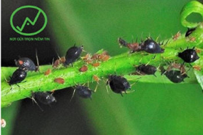 Hình ảnh của rệp muội (đen) và rầy mềm (đỏ)