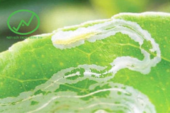 Triệu chứng bị sâu vẽ bùa gây hại trên lá
