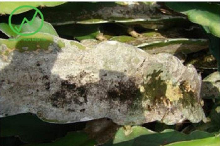 Triệu chứng của bệnh nám cành trên cây thanh long