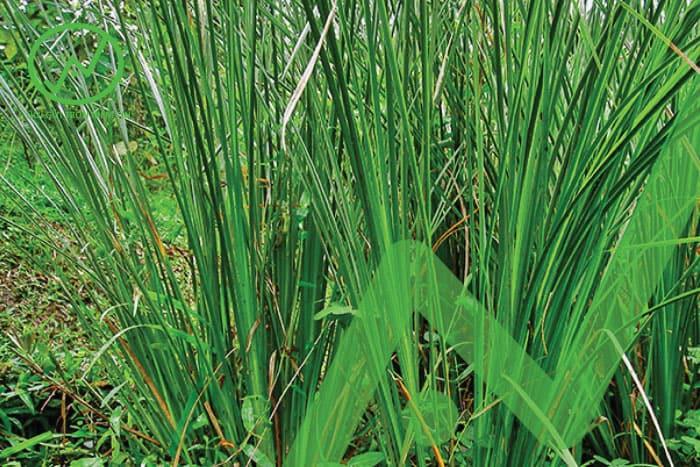 Trồng các loại cỏ có tác dụng cải tạo đất