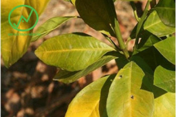 Triệu chứng của bệnh vàng lá thối rễ trên cây quýt