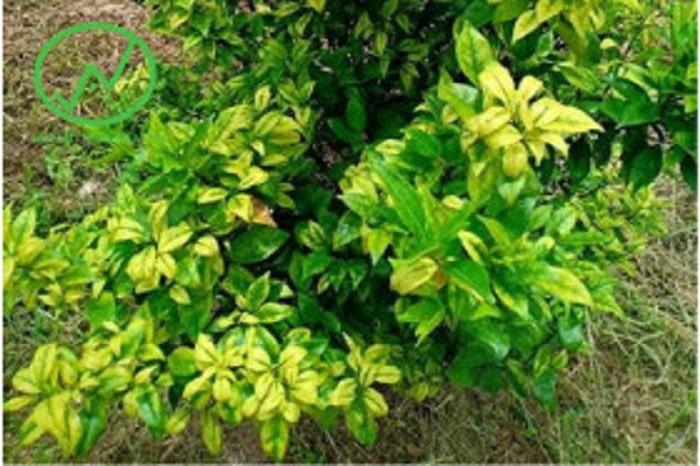 Triệu chứng của bệnh vàng lá thối rễ trên cây cam