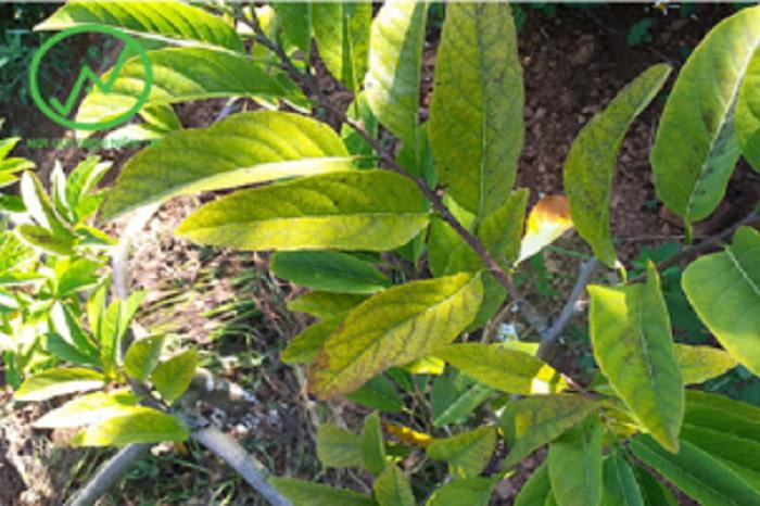 Triệu chứng của bệnh vàng lá thối rễ trên cây na
