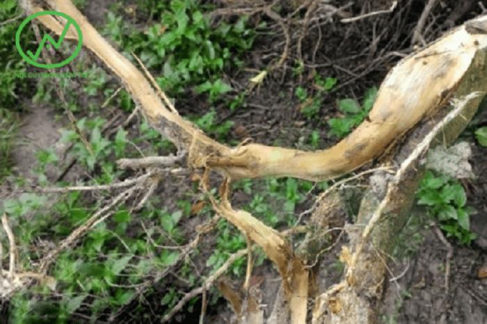 Cây na bị thối rễ