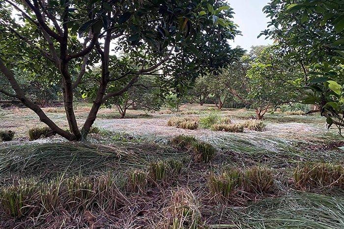 lưu ý khi chăm sóc cây ăn trái mùa khô