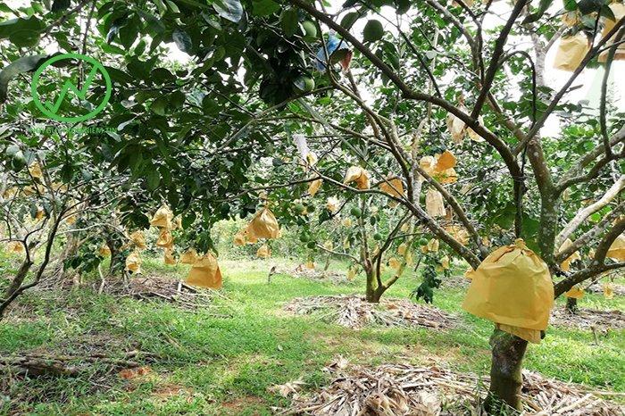 cách chăm sóc cây ăn trái trong thời tiết nắng nóng