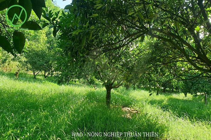 giữ cỏ trong vườn để che phủ là biện pháp bảo vệ cây trong những ngày nắng nóng tốt nhất