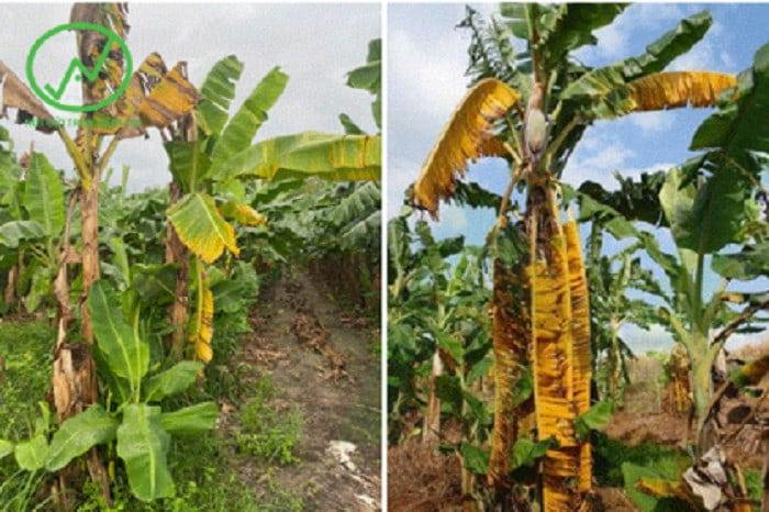 Bệnh héo rũ vàng lá cây chuối do nấm Fusarium oxysporumf