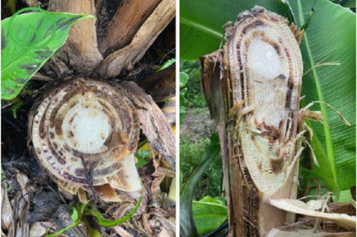 Các bó mạch dẫn trên thân chuối thối nâu