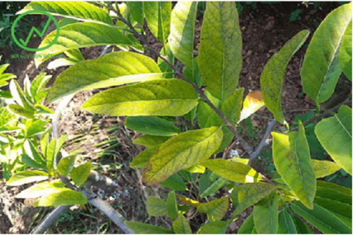 Cây na bị vàng lá thối rễ