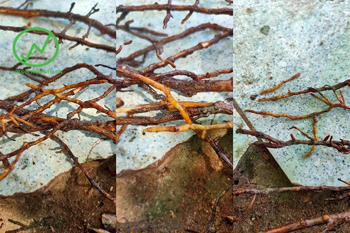 Rễ sầu riêng bị thối