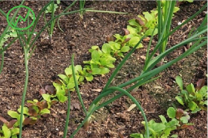 Cây tỏi trồng đồng hành