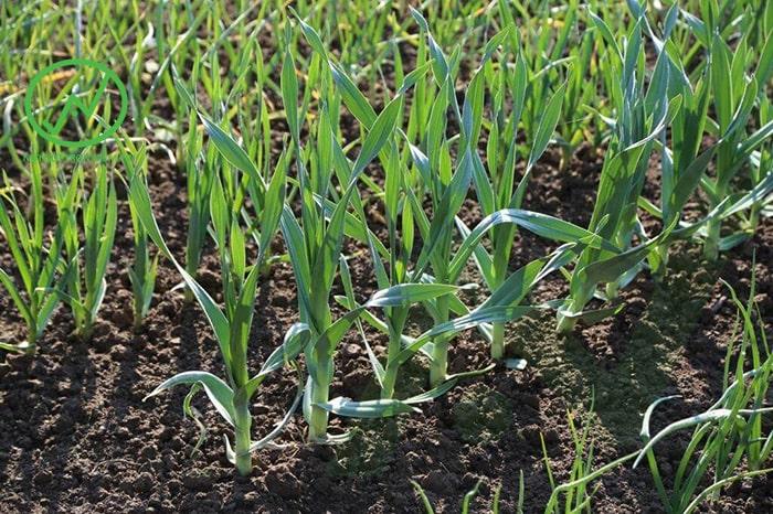 trồng hành, tỏi, hương nhu, lavender giúp phòng tránh rắn