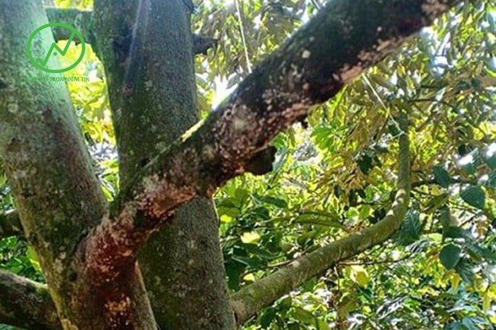 Vườn sầu riêng bị nhiễm nấm phytophthora làm nứt thân xì mủ