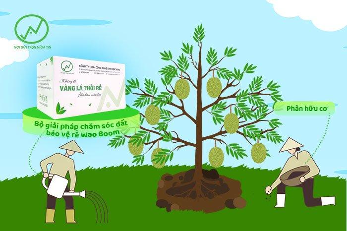 Cải tạo đất cho sầu riêng sau thu hoạch