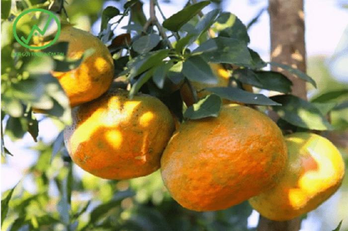 Cam bù để càng chín càng ngon, khi đó, cam sẽ xuống nước, múi cam căng mọng