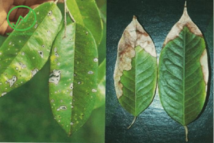 Triệu chứng cây sầu riêng bị đốm lá