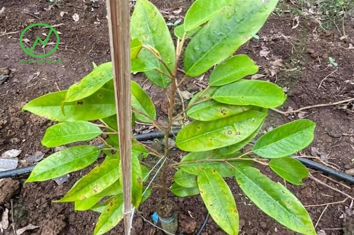 Biểu hiện bệnh đốm lá gây hại sầu riêng con