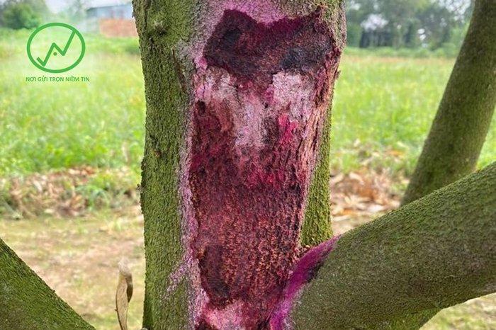 Cách trị cây sầu riêng bị chảy xì mủ