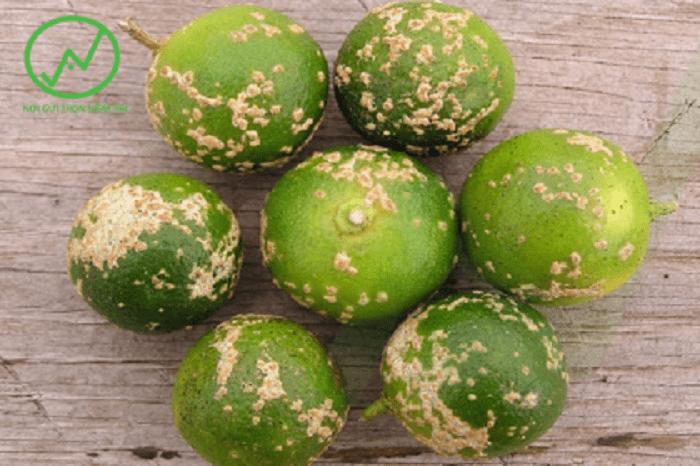Biểu hiện bệnh ghẻ sẹo gây hại trái chanh