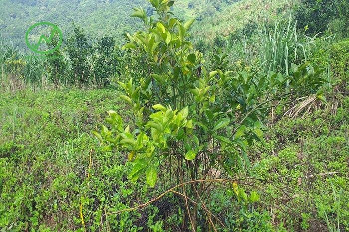 Biểu hiện cây cam bị vàng lá thối rễ