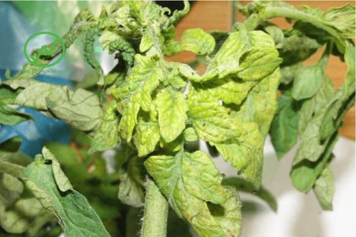 Cây cà chua bị xoăn lá