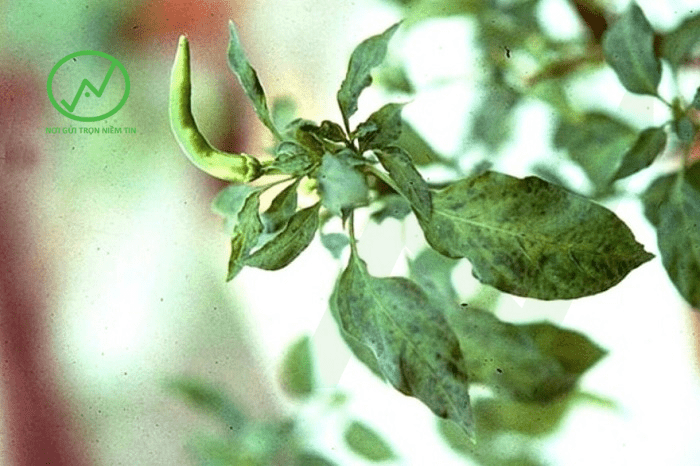 Cây ớt bị xoăn lá