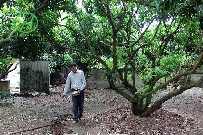 Bón phân chăm sóc cây nhãn sau thu