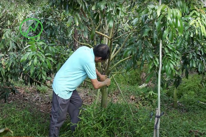 Tỉa cành chăm sóc cây nhãn sau thu