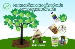 Bổ sung dinh dưỡng cho cây có múi giai đoạn nuôi trái