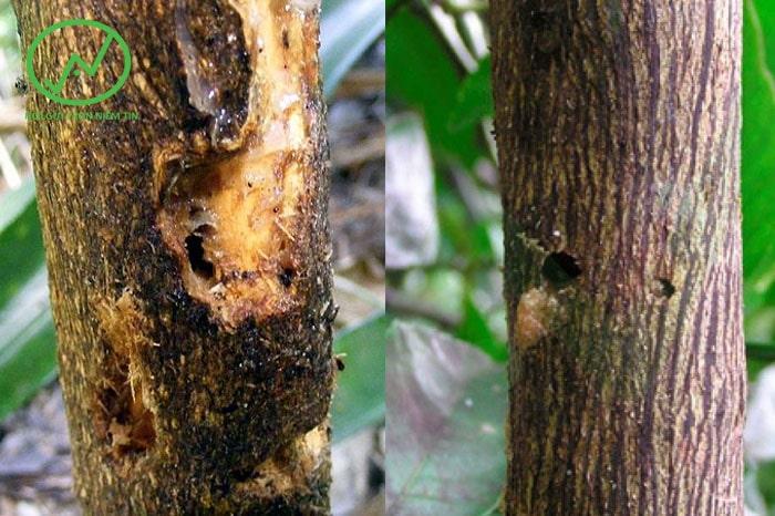 Dấu hiệu nhận biết cây chanh bị sâu đục thân gây hại