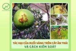 Tác hại của ruồi vàng trên cây ăn trái bạn cần biết