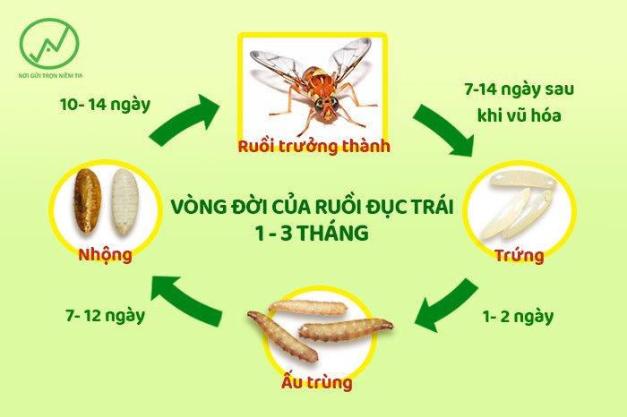 Tác hại của ruồi vàng rất lớn nếu không ngăn chặn vòng đời của chúng