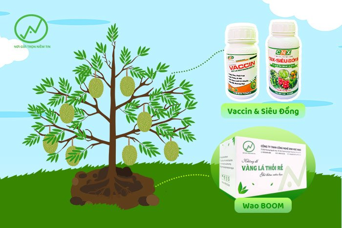 Xử lý nấm bệnh đồng thời trên thân cành lá và trong đất cho vườn sầu riêng