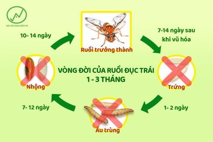 Tiêu diệt trứng, ấu trùng và nhộng ruồi là cách diệt ruồi vàng hiệu quả nhất